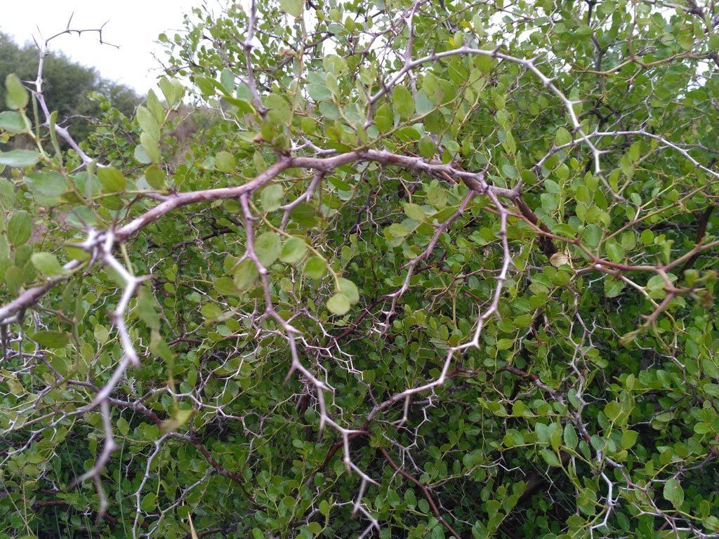 El hábitat del azufaifo (Zyziphus lotus) se encuentra en grave peligro de desaparición